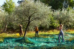 Olive Picking_Tourist guide_catalog and travel guide_catalogue in Greece_1000.gr